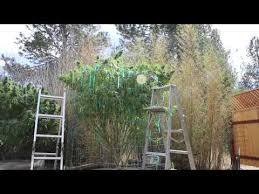 Patio Grow House Outdoor Cannabis Plants On A Patio Marijuana Grow Vlog