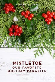 where to buy mistletoe mistletoe our favorite parasite live well utah