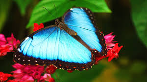 beutifull beautiful butterflies wallpaper wallpapersafari