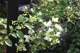 3 plants bougainvillea white cascade bali villa tropical