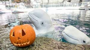 animals halloween photos shedd aquarium animals play with halloween treats
