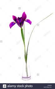 a purple mauve magenta iris in a glass specimen vase on pure white