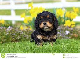 bichon frise fluffy fluffy puppy sits in grass with flowers in background stock photo