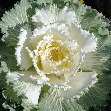 brassica oleracea ornamental cabbage ornamental kale
