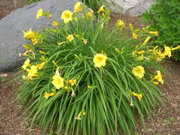 day lilies daylily pet poison helpline