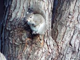 How To Hunt Squirrels In Your Backyard by Eastern Gray Squirrel And Eastern Fox Squirrel Mdc Discover Nature