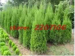 selling cypress trees conifer bonsai plant seeds easy grow diy