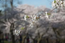 single branch on a cherry blossom tree stock photo image of