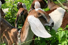 pittsburgh hired a crew of goats to landscape the city u0027s parks