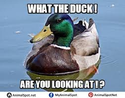 Meme Duck - duck memes