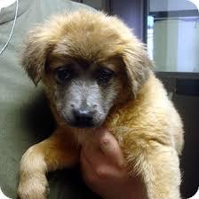 australian shepherd collie mix phyllis adopted puppy 8579 greencastle nc australian
