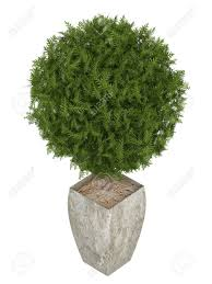 Potted Topiary Trees Evergreen Cypress Topiary Tree In A Container For Use Indoors