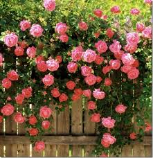 creepers flowers seed rosa polyantha flower seeds