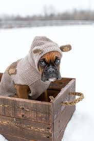 boxer dog 2015 25 best boxer dogs ideas on pinterest boxer baby boxer puppies