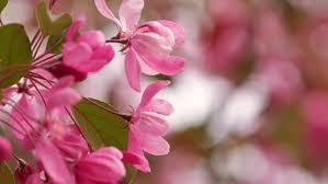 Paper Flowers Video - beautiful bougainvillea flowers or paper flowers stock footage