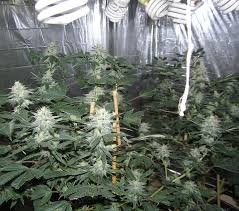 fluorescent light bulbs for growing weed alternative weed grow light types led vs cfl s alternative weed