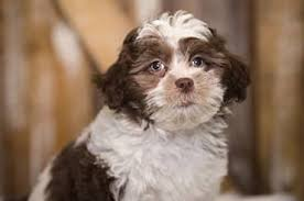 shi poo shih poo shoodles shoodle dog breeds puppy adoption the