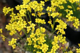 colors close to yellow durango botanical society yellow stardust petite
