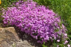 Rock Garden Plant Plants To Use In Rock Gardens Lovetoknow