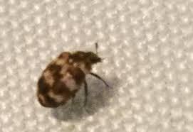 Rug Bugs Black Carpet Beetle New York Carpet Vidalondon