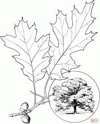 oak tree coloring pages aecost net aecost net