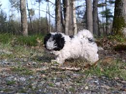 bichon frise kentucky 33 best puppies images on pinterest bichon frise cavalier king