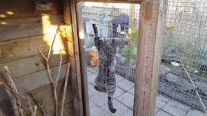 backyard poultry chickens ducks pigeons youtube