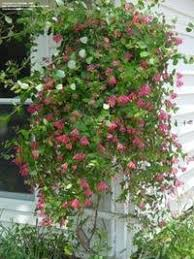10 hardy vines you should dave s garden
