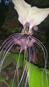 20 best black bat flower images on pinterest black bat bats and