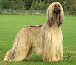 afghan hound stupid about sighthounds