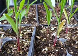 imgp2283 jpg corn early planting method saves water beats drought and pests
