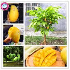 Mango Boom 2 pcs bag mango seeds mini mango tree seeds bonsai pot tree