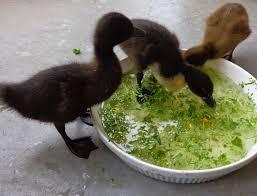 basic duckling care raising healthy happy ducks fresh eggs daily