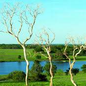 manzanita branches for sale manzanita branches for sale sandblasted manzanita branches