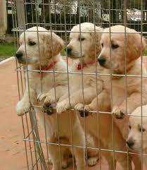 cani in cerca di casa i cuccioli della scuola cani guida per ciechi cercano casa 1 di