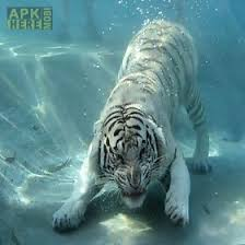 tiger apk angry tigers for android free at apk here store apkhere