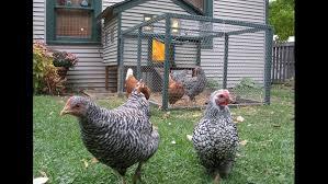 pilot program for backyard hens in neptune beach takes step