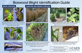 Plant Diseases Identification - caes boxwood blight