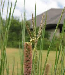 planting native grass seed three iconic prairie grasses to add to your landscape dyck arboretum