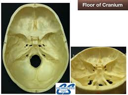 Floor Of The Cranium Structures U0026 Foramina Of Cranial Floor Science Anatomy Showme