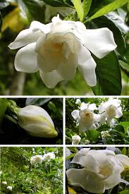 a gardenia for me deb u0027s garden deb u0027s garden blog