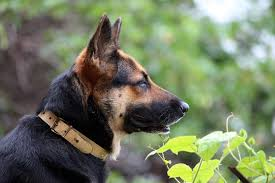 cost of a belgian sheepdog how much does a german shepherd cost