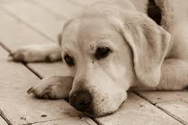 comment empecher mon chien de monter sur le canapé 10 conseils pour soulager l arthrose du chien