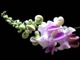 Tropical Fragrant Plants Phaseolus Caracalla Corkscrew Vine U2013 Smart Seeds Emporium