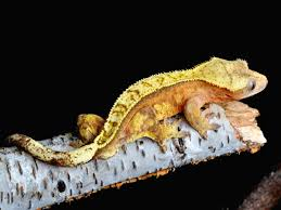 Halloween Crested Gecko Morph by Crested Gecko Care Page 137