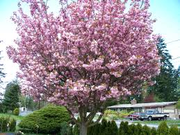 Trees With Pink Flowers The 3 Best Flowering Trees For Parking Lot Islands
