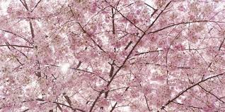 pretty in pink it u0027s cherry blossom time in japan huffpost