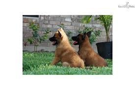 belgian shepherd breeders south africa oso belgian malinois puppy for sale near san antonio texas