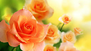 orange backgrounds image wallpaper cave wallpaper most orange rose in the world hd images with flower