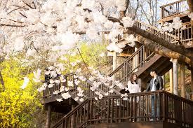 backdrop wedding korea top 10 cherry blossom spots in korea for wedding photography